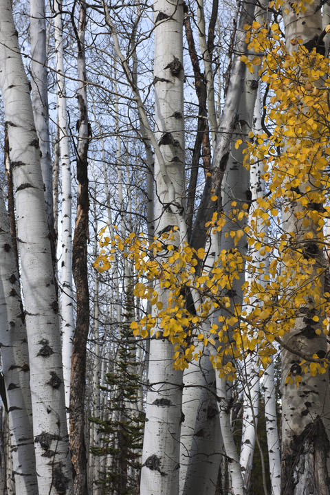 Photograph of Aspen Trees