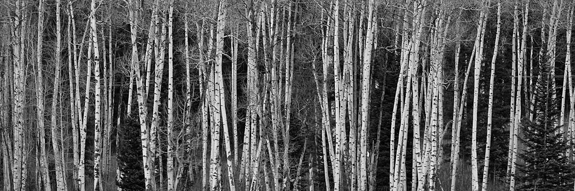 Photograph of Aspens 1
