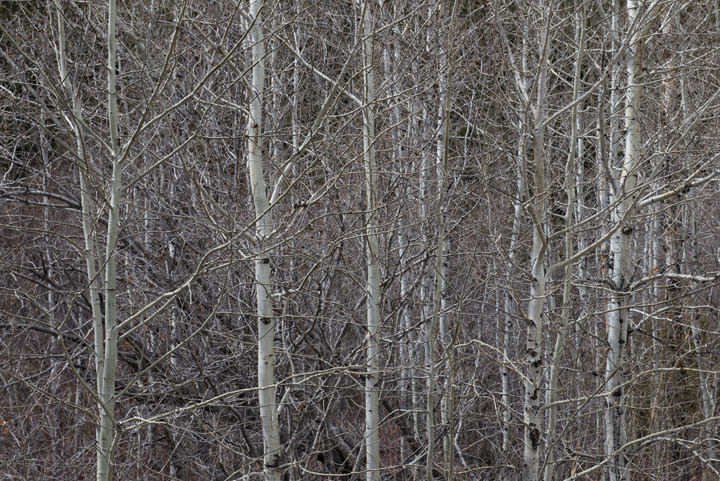 Photograph of Aspens 4