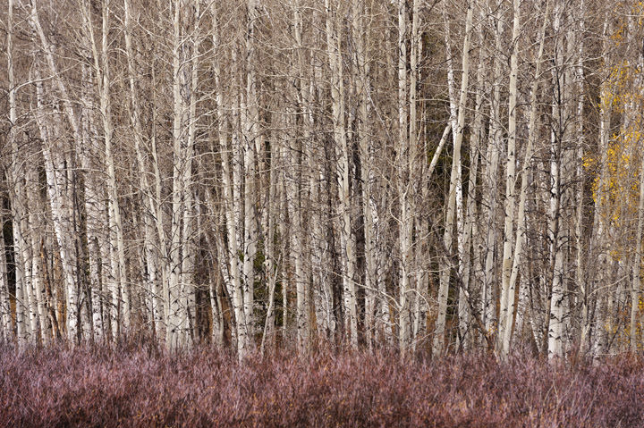 Photograph of Aspens