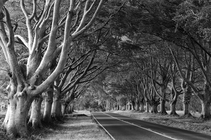 Avenue of Beech Trees Kingston Lacy - England