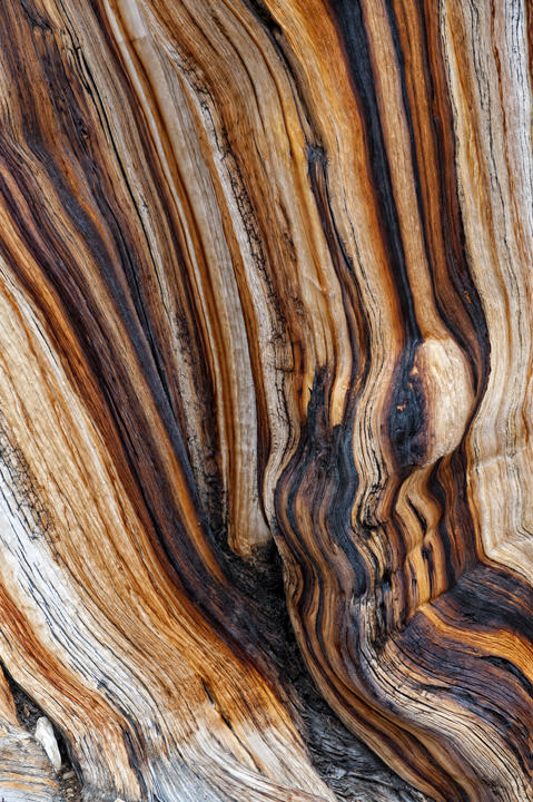 Bark Patterns Bristlecone Pine