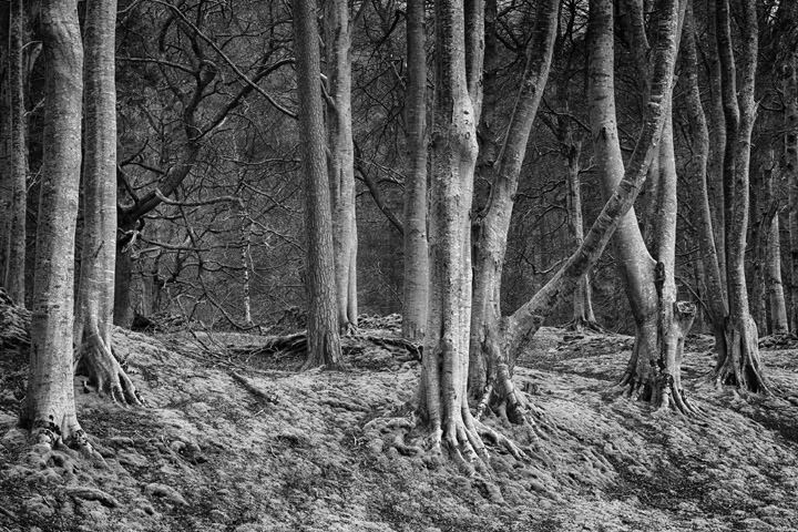 Photograph of Beech Forest 8