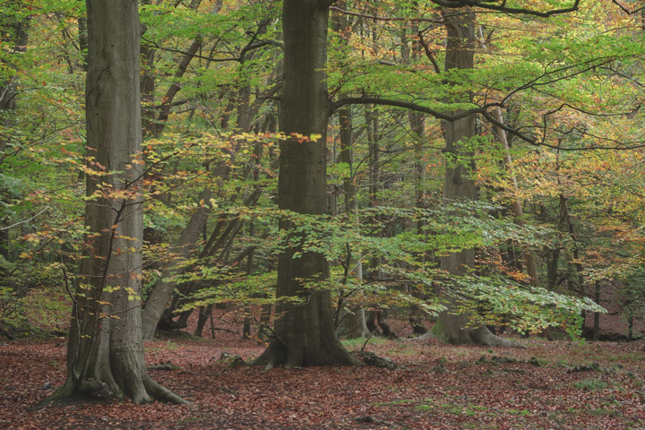 Photograph of Beech Trees 1