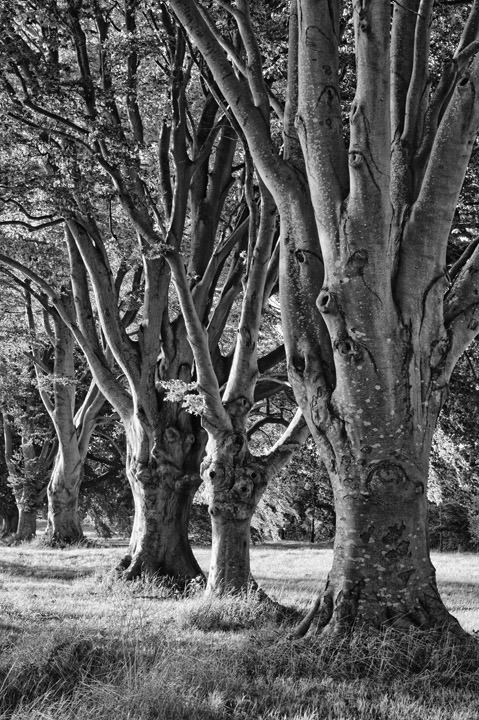 Photograph of Beech Trees 3