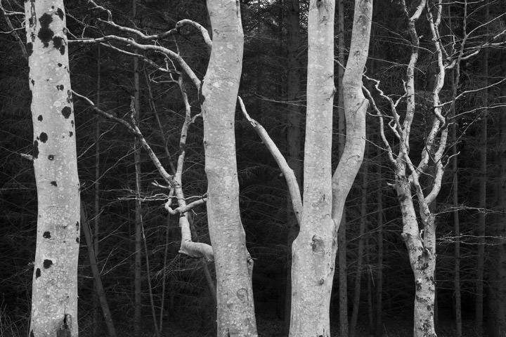 Photograph of Birch Forest 1