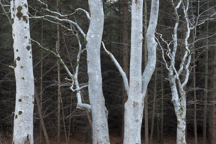 Photograph of Birch Forest 3