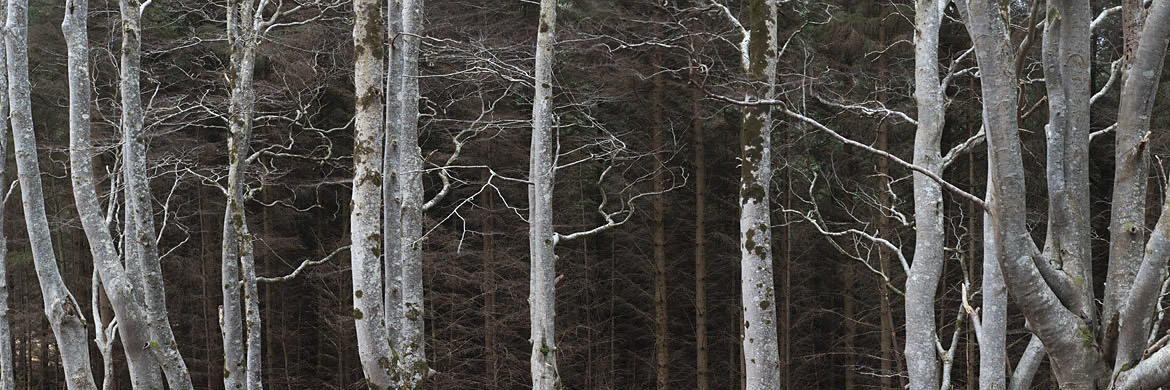 Photograph of Birch Trees