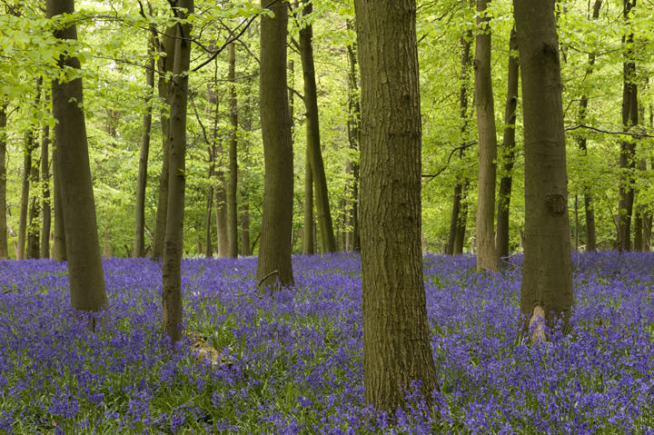 Photograph of Bluebell Forest