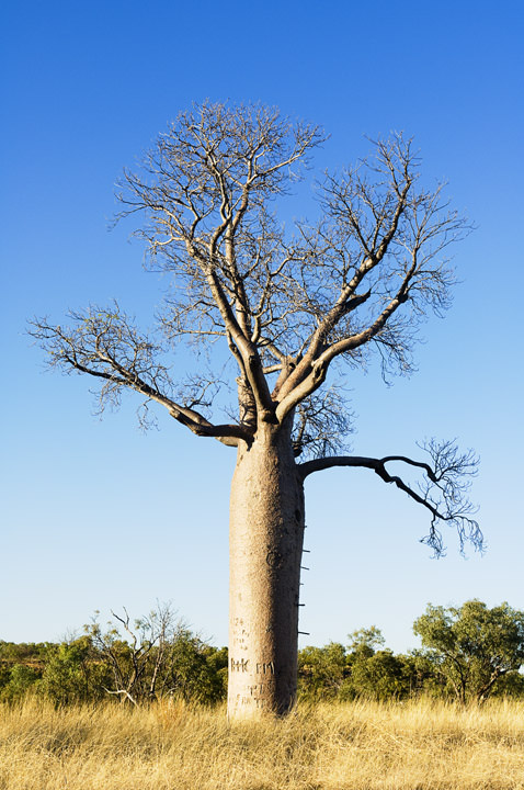 Photograph of Boab Tree