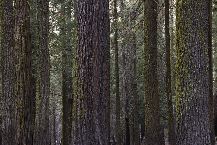 Photograph of Fir Trees 12