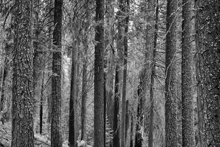 Photograph of Fir Trees 13