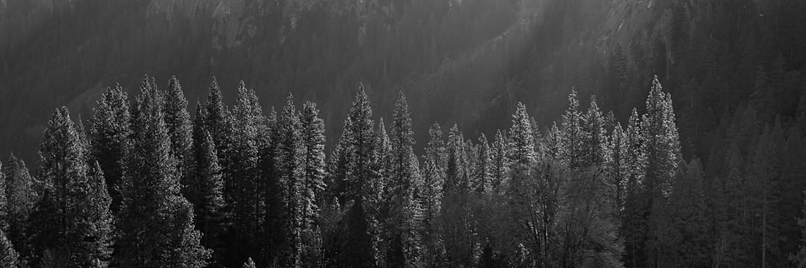 Photograph of Fir Trees 2