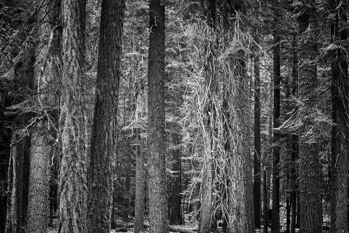 Photograph of Fir Trees 4