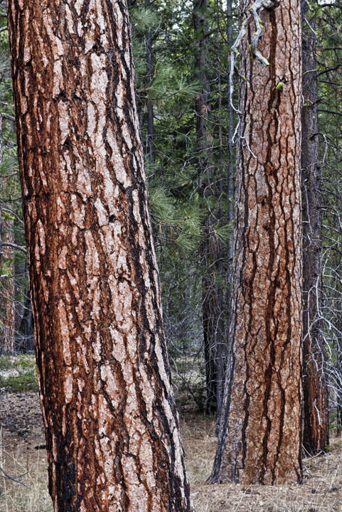 Photograph of Fir Trees 7