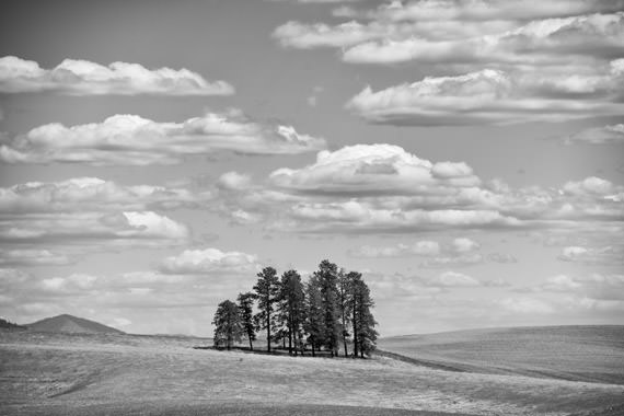 Fir Trees Palouse