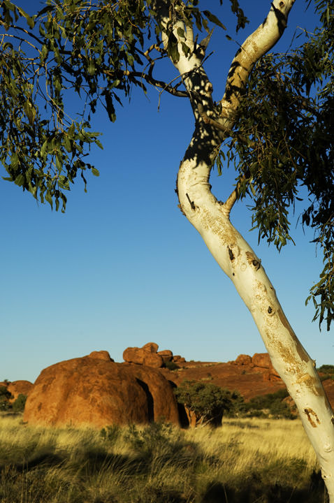 Photograph of Gum Tree