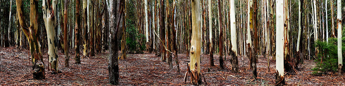 Photograph of Gum Trees