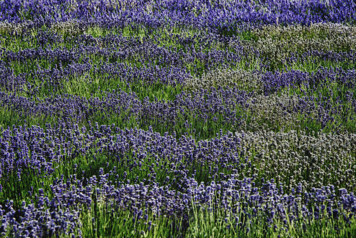 Lavender Patterns 1