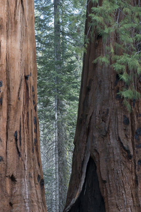 Photograph of Redwoods 1