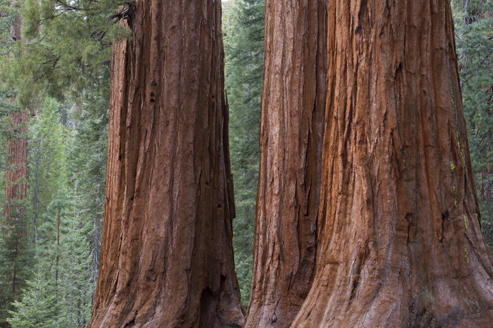 Photograph of Redwoods 5