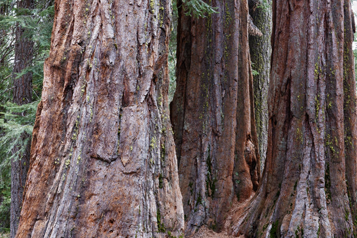 Photograph of Redwoods 6