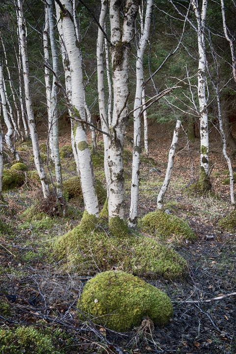 Photograph of Silver Birch Trees 1