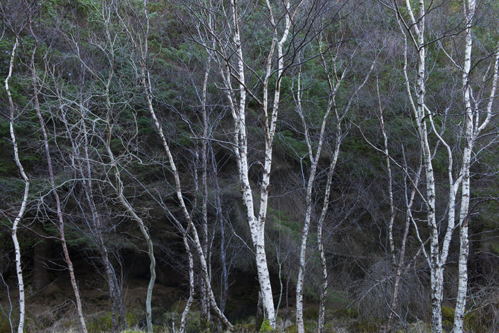 Photograph of Silver Birch Trees 3