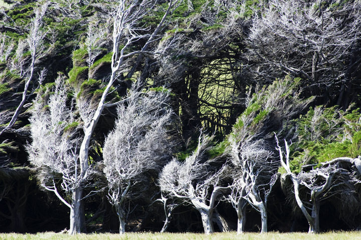 Photograph of Silver Trees