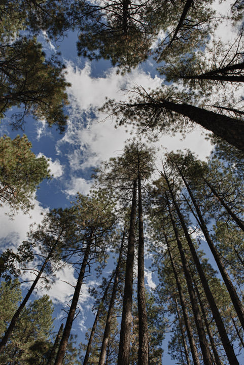 Tall Trees under a cloudy sky in Arizona.