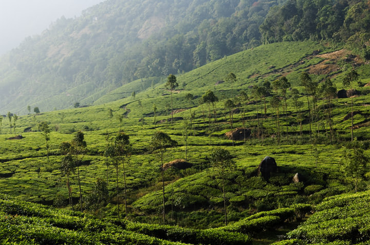 Photograph of Tea Estates 1