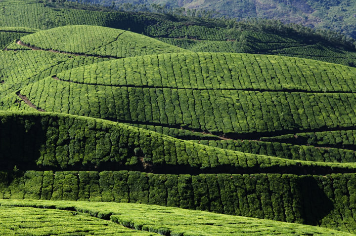 Tea Estates India