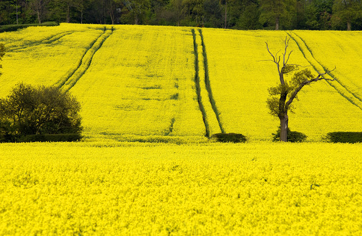 Yellow Fields Hertfordshire - England
